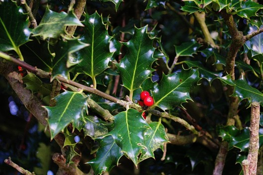 Some Holly Berry
